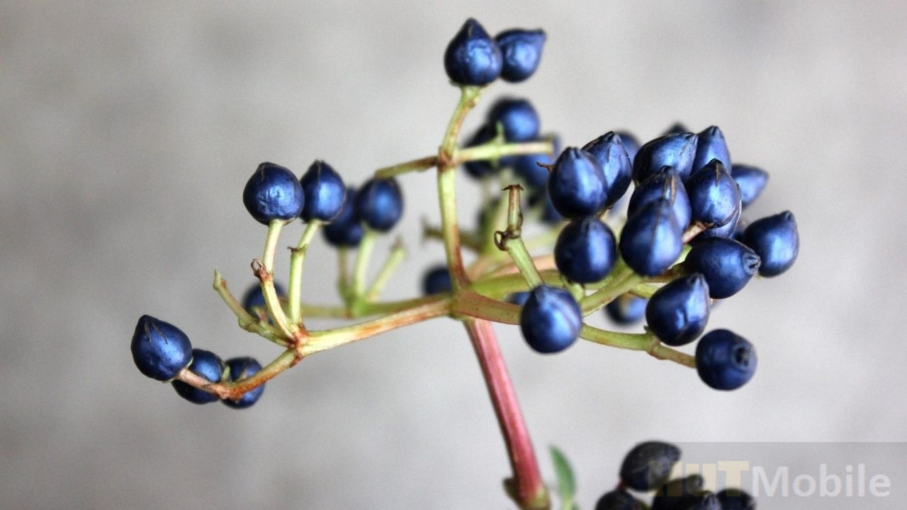 Viburnum tinus fruit: The secret of the mysterious metallic blue fruit has been solved!